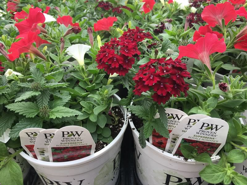 Each of our combo 1 gallon pots contains 3 colour coordinated premium Proven Winner varieties