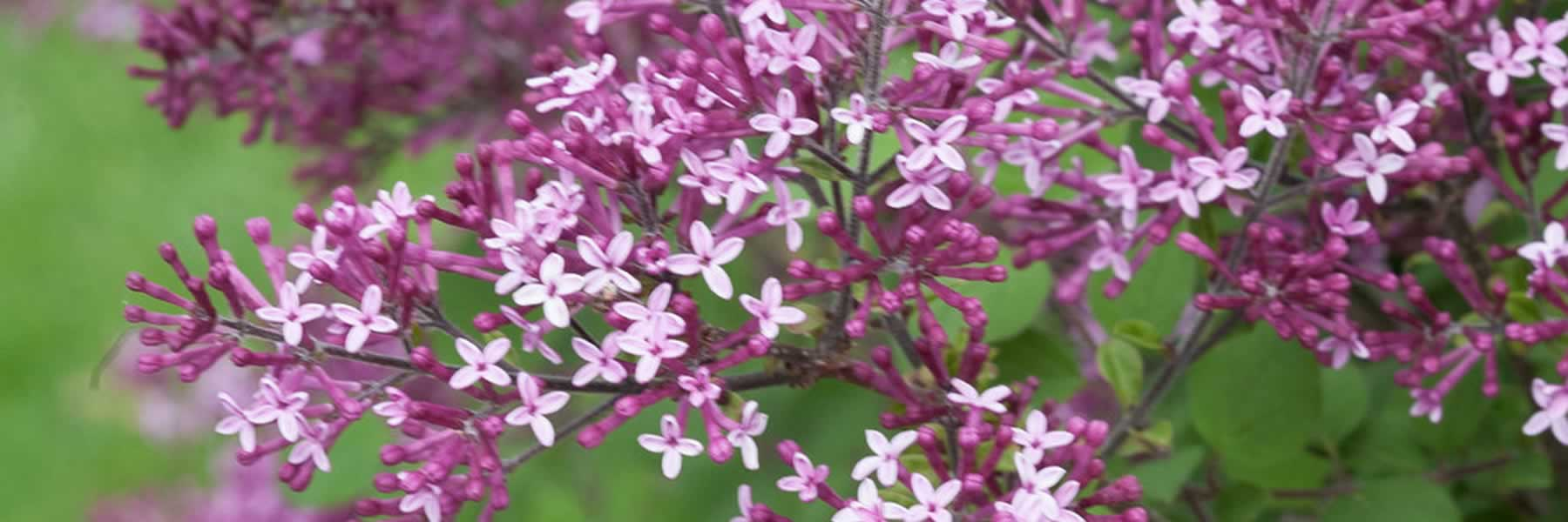Dark Purple Lilac Bloomerang