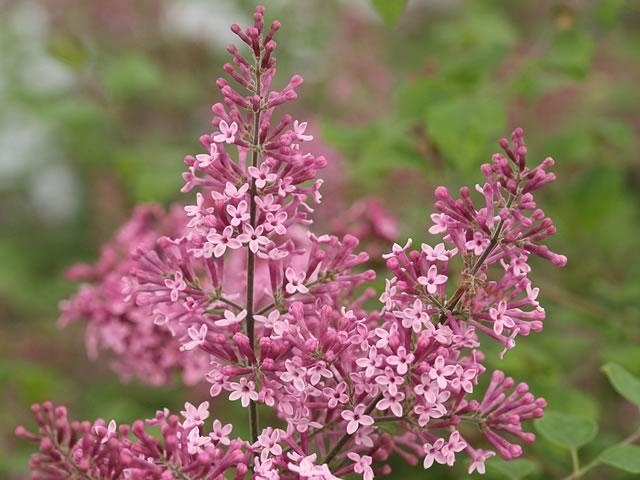 Pink Perfume Lilac Bloomerang