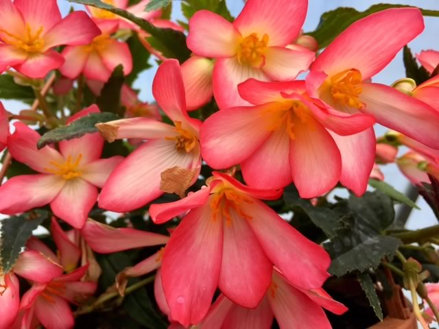 Cute Kiss Pink Begonia