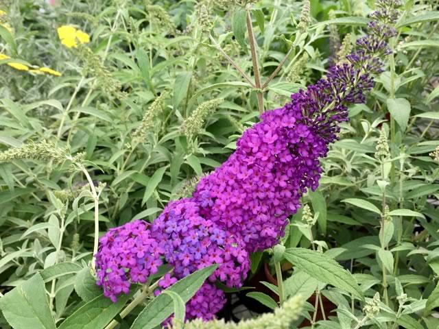 Blue Knight Butterfly Bush
