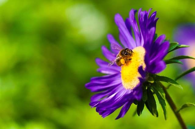 Single flowers provide more nectar for bees
