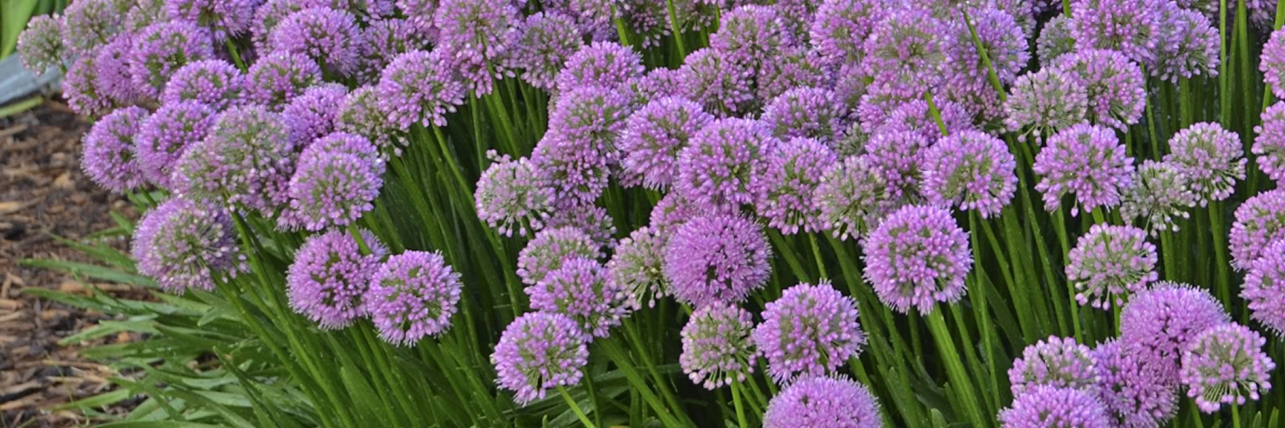 Allium Millenium 2018 Perennial Plant of the Year