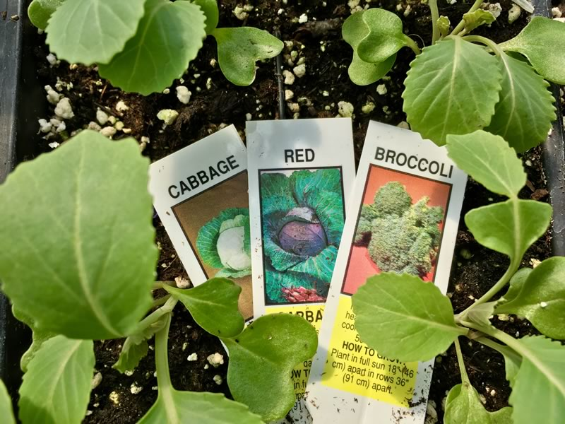 We grow many cool season veggies including Cabbage, Cauliflower, Brussels Sprouts, Broccoli, Lettuce, Leeks, Onions, Arugula and Collard Greens.