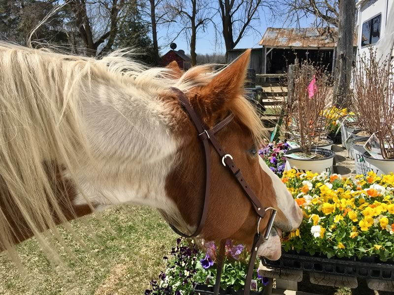 Kitty the horse snacking on pansies and violas