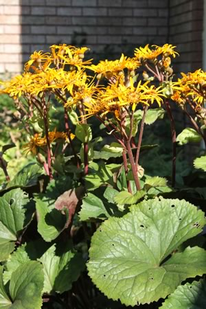 Ligularia Desdemona blooms late summer when the garden can use a burst of colour.