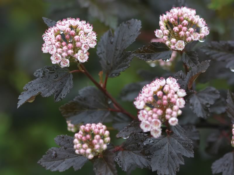 Physocarpus Summer Wine foliage is purple with dark stems, creating a gorgeous contrast against other green or yellow foliage. Courtesy of Proven Winners.