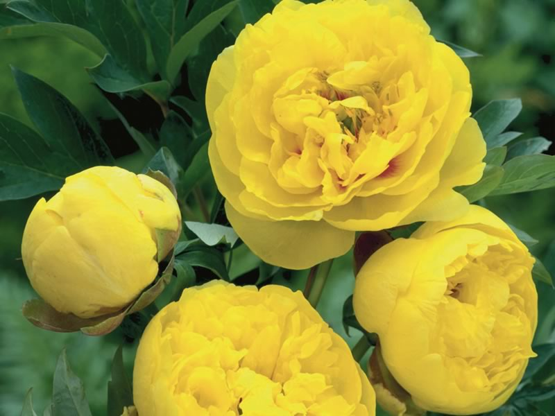 Yellow Crown - Photo courtesy Darwin plants.