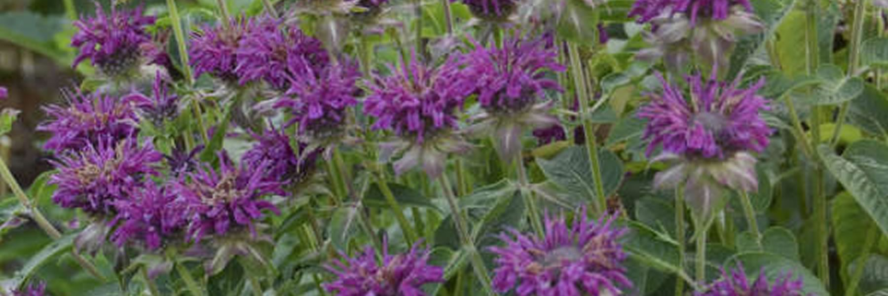Bees love Beebalm flowers as do hummingbirds, butterflies and other pollinators. Photo courtesy Walters Gardens, Inc.