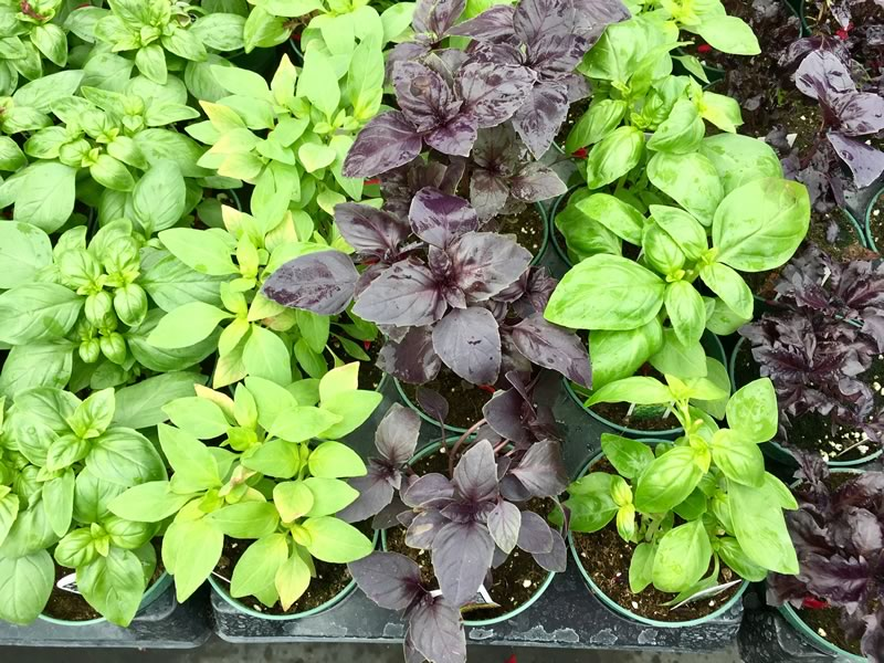 All Basil varieties love heat and require full sun to be at their best.