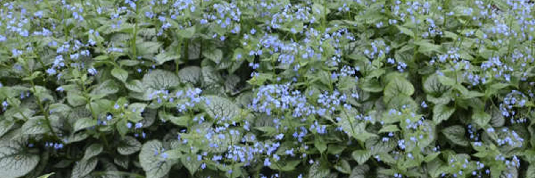 Brunnera Photo courtesy of Walters Gardens.