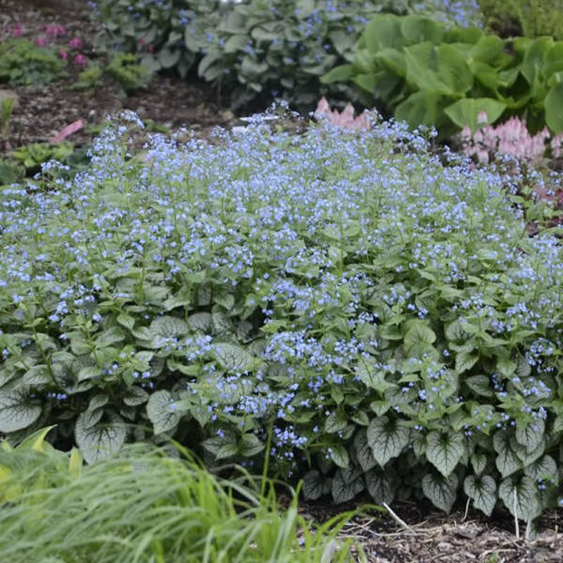 Brunnera comes either with plain green foliage or in variegated forms – such as Jack Frost, shown in the photo.