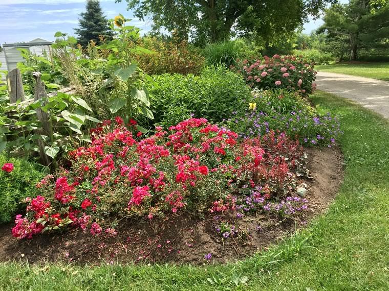 Favourite shrub: Rose 'Flower Carpet Scarlet'