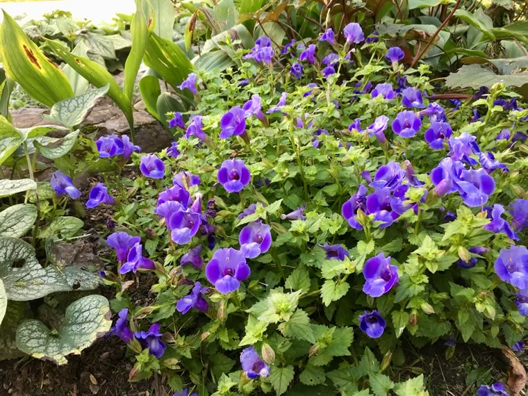 Favourite in ground annual: Torenia 'Summer Wave Blue'