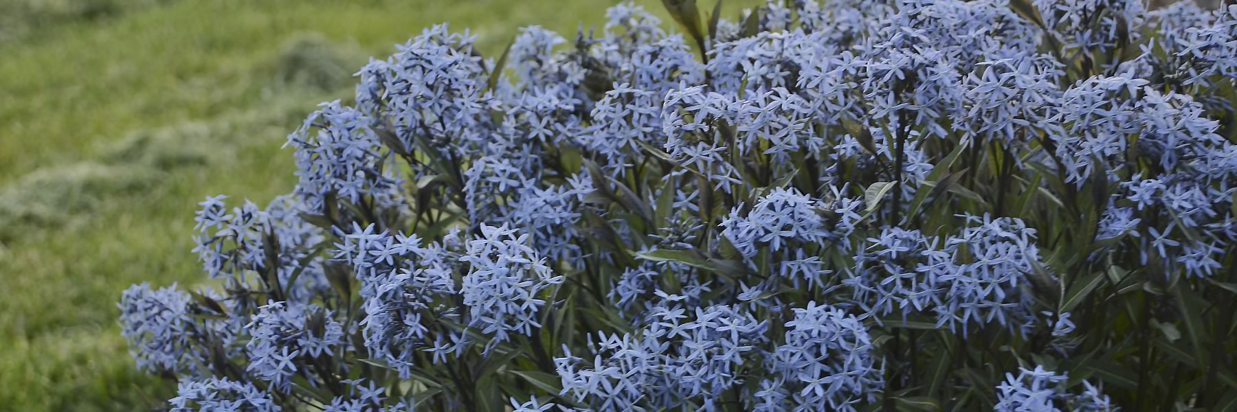 Clusters of star shaped light periwinkle blue flowers are held above the foliage and completely cover the plant for many weeks, from late spring to early summer.