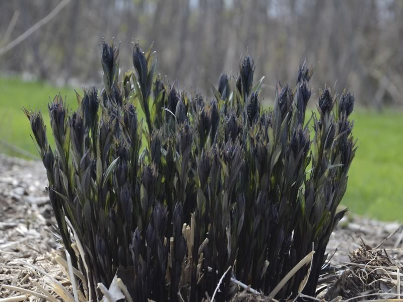Amsonia Storm Cloud emerges from the ground each spring as incredibly dark, near black stems, which grow into olive green leaves with silver veins, somewhat resembling willow foliage.