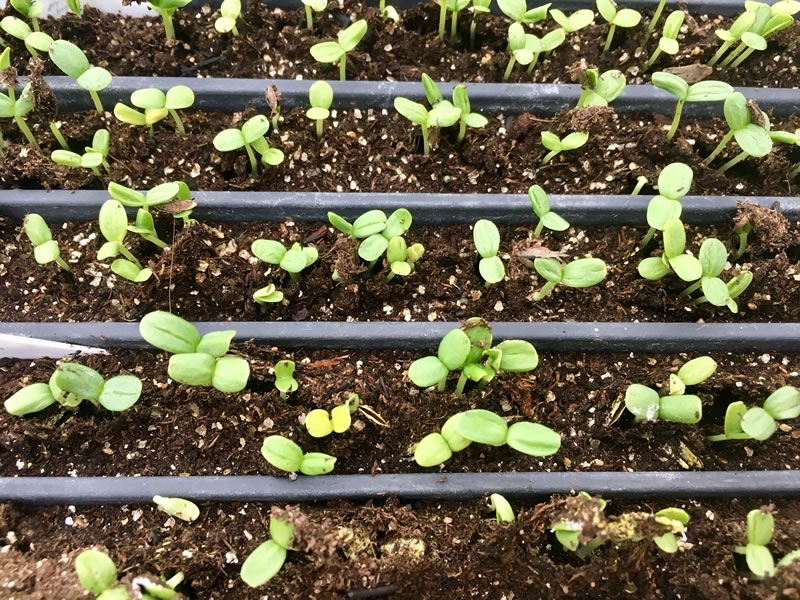 Bring us your seeds in January or February and I will germinate and grow them on for you.