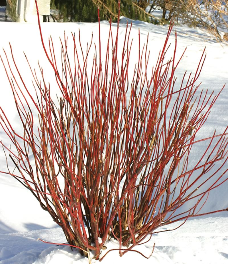 The real beauty of Arctic Fire though is the red stems which provide bright winter interest against the snow in the winter and early spring.