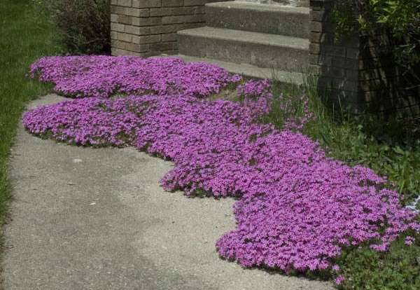 Creeping Phlox Red Wing (Photo courtesy of Walters Gardens)