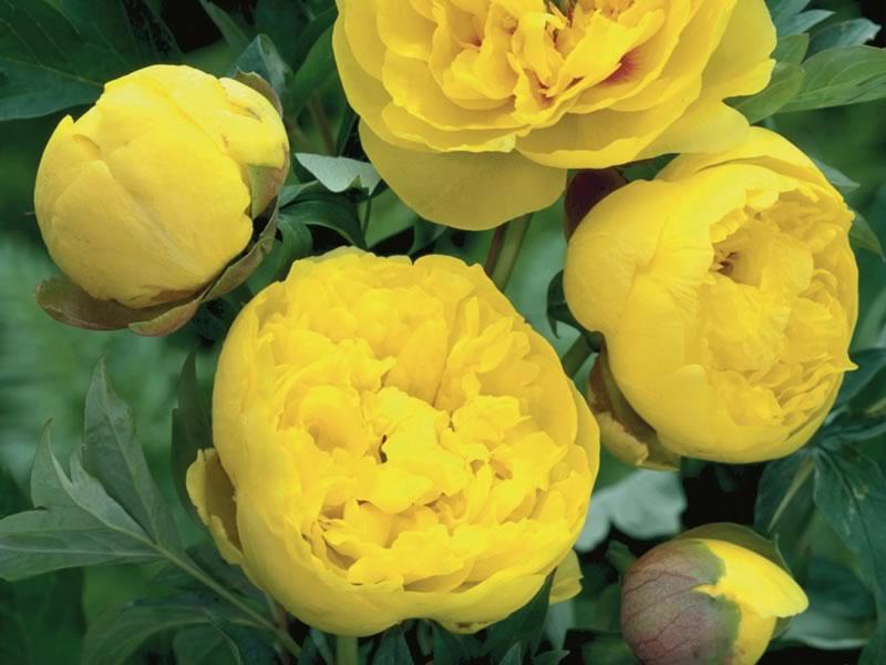 "Yellow Crown – Medium sized, semi double, bright yellow flowers. 20"" high. Photo courtesy of Darwin Perennials."