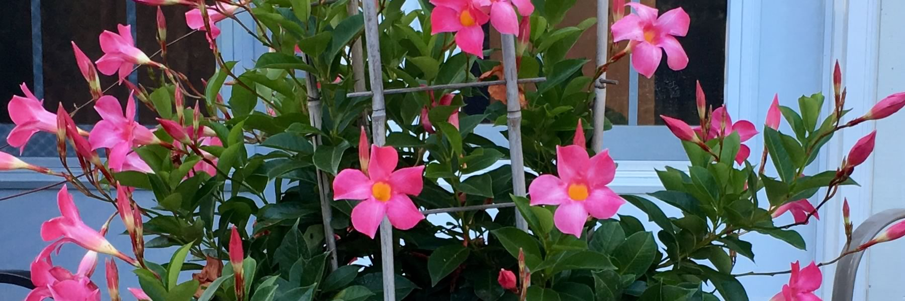 Favourite container annual: Mandevilla 'Dundee Pink'