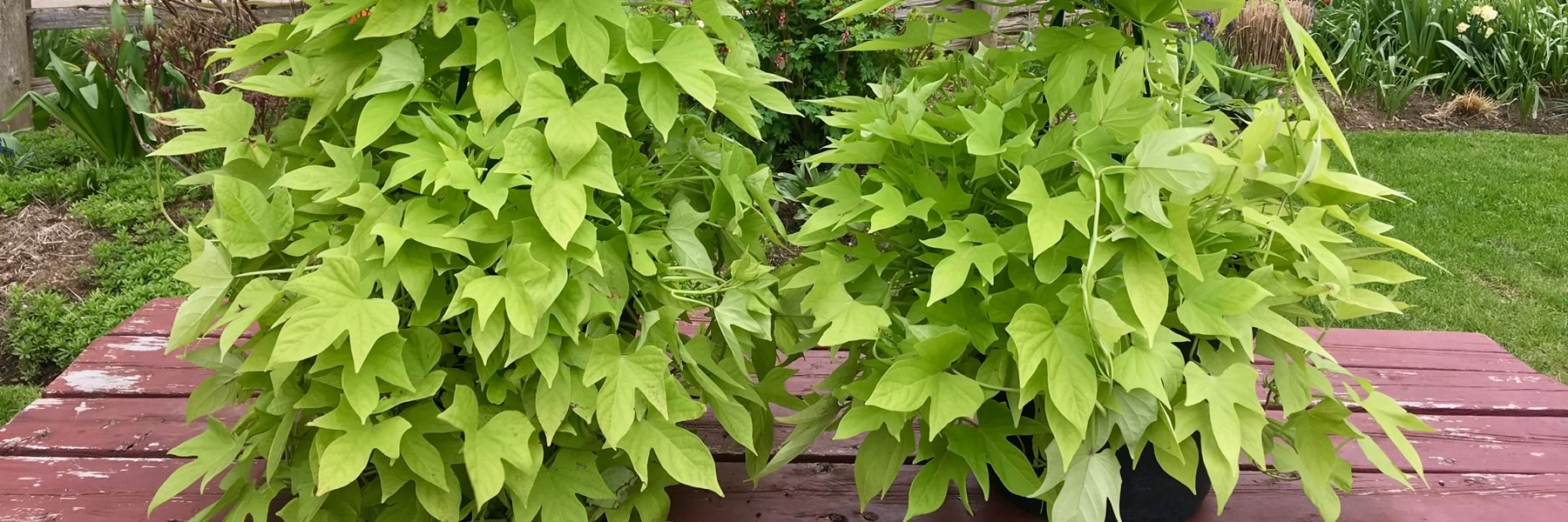 Sweet Potato Vine Solar Tower Lime