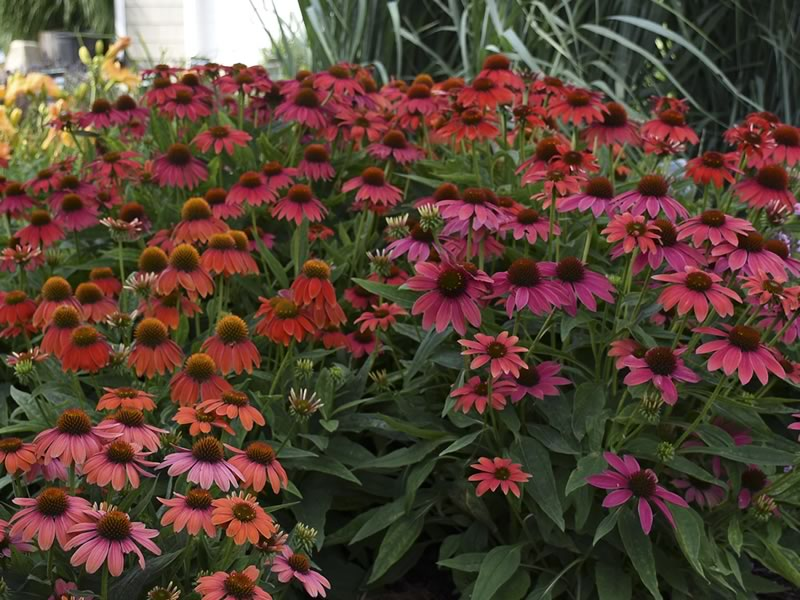 As with all Echinaceas, Lakota Fire is easy to grow