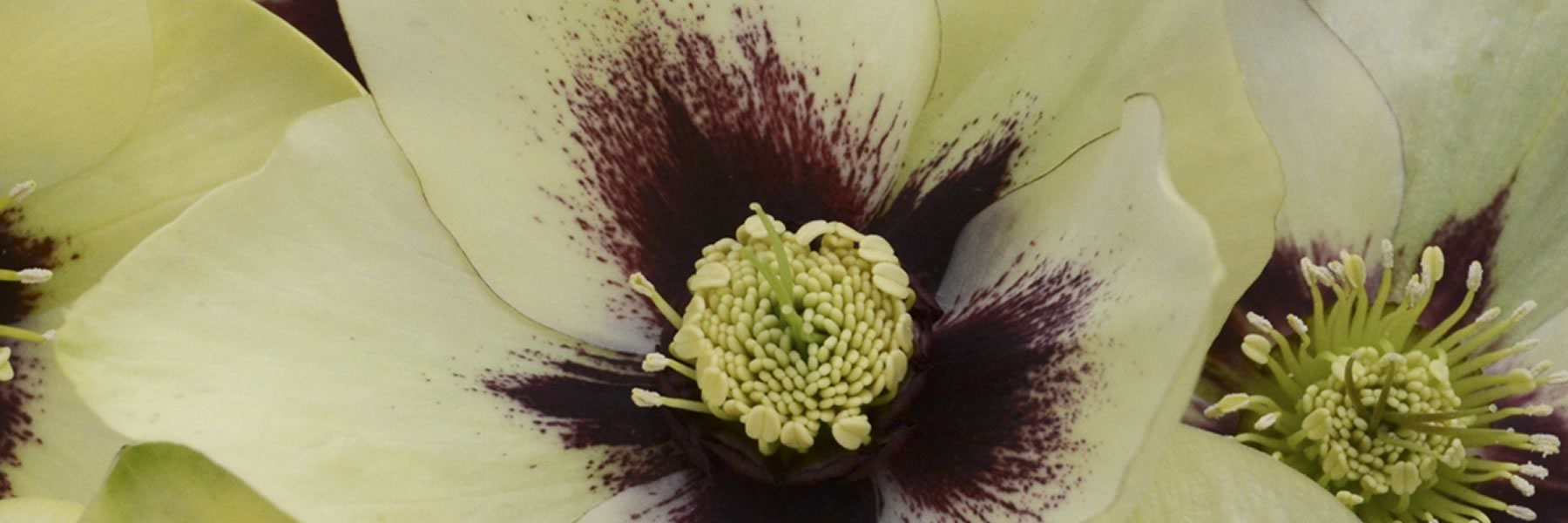 Helleborus Spanish Flare also known as Lenten Rose are a true herald of spring. Photo courtesy of Walters Gardens.