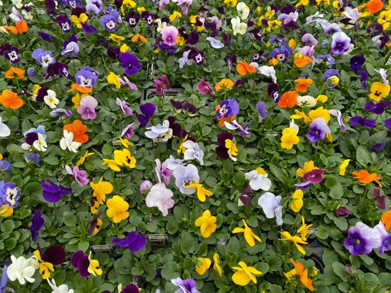 Viola aka Johnny Jump Up is available in various colours, range of sweet, perfumed flavours. Try freezing in icecubes. Use whole.