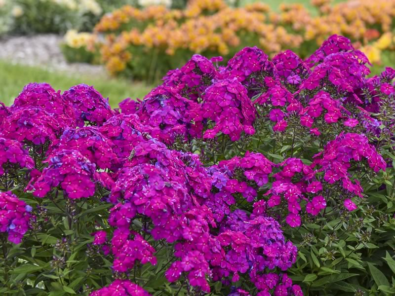 Phlox Ultra Violet. Photo courtesy of Walters Gardens, Inc.